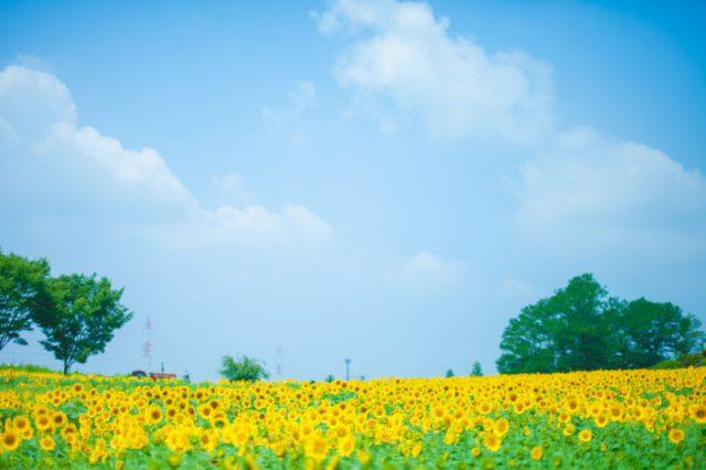 ひまわり畑、ラベンダー畑など夏の絶景花畑に出会う